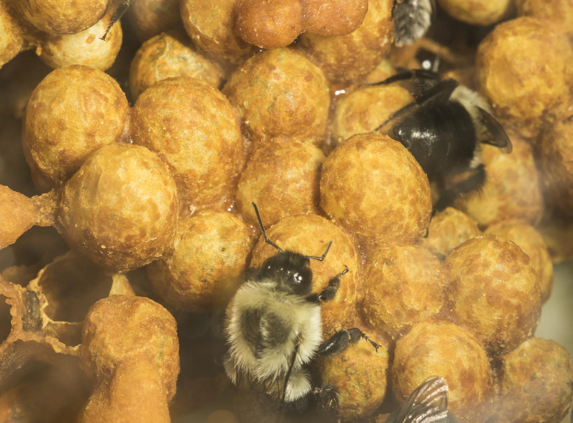 bumblebee nest in box