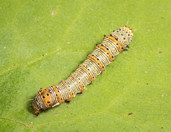 Eight-spotted forester larva