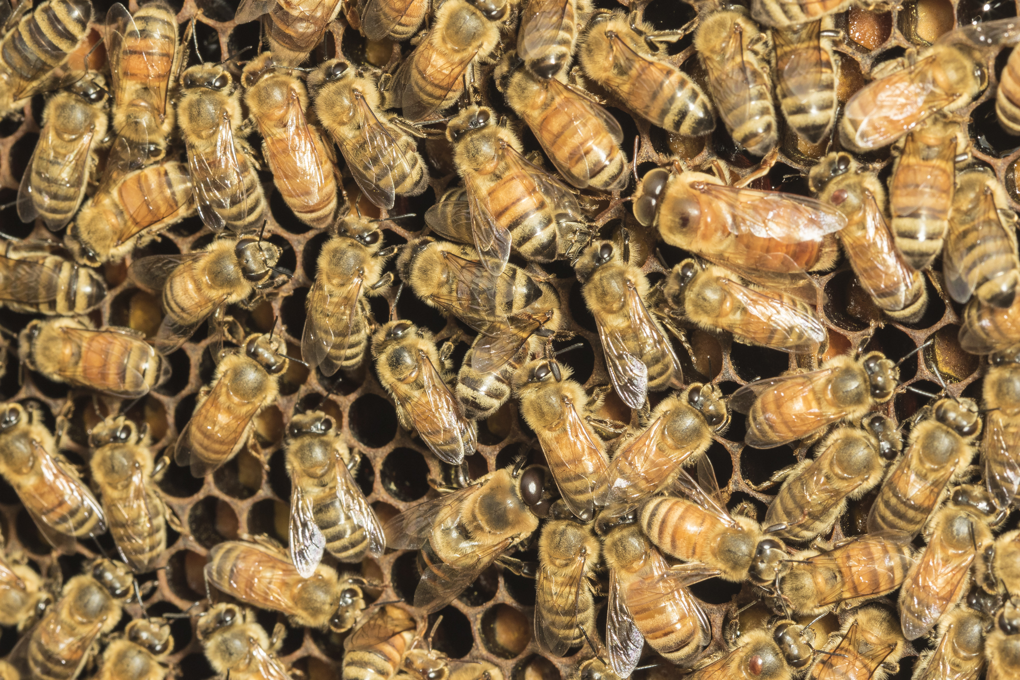 honeybees from CCCG hive