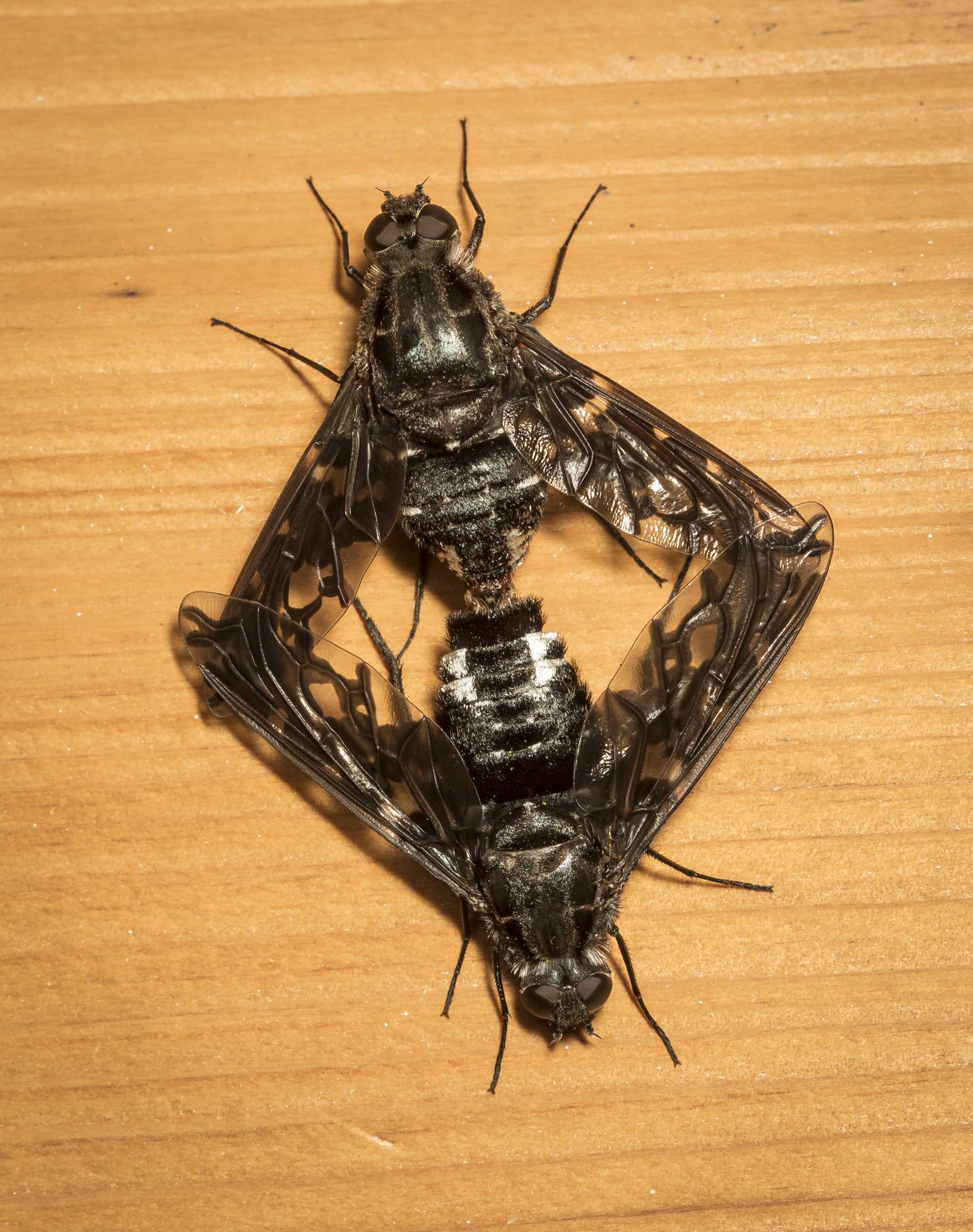 Mating Tiger Bee Flies