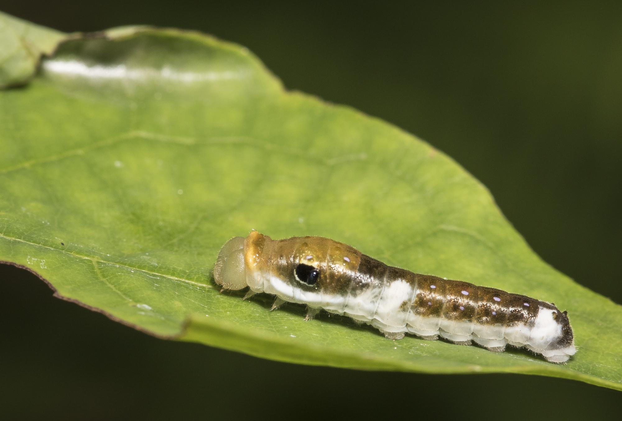 Spicebush swallowtail larva
