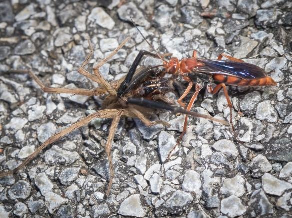 Spider Wasps (Pompilidae) - Damascus, VA; possibly Tachypompilu