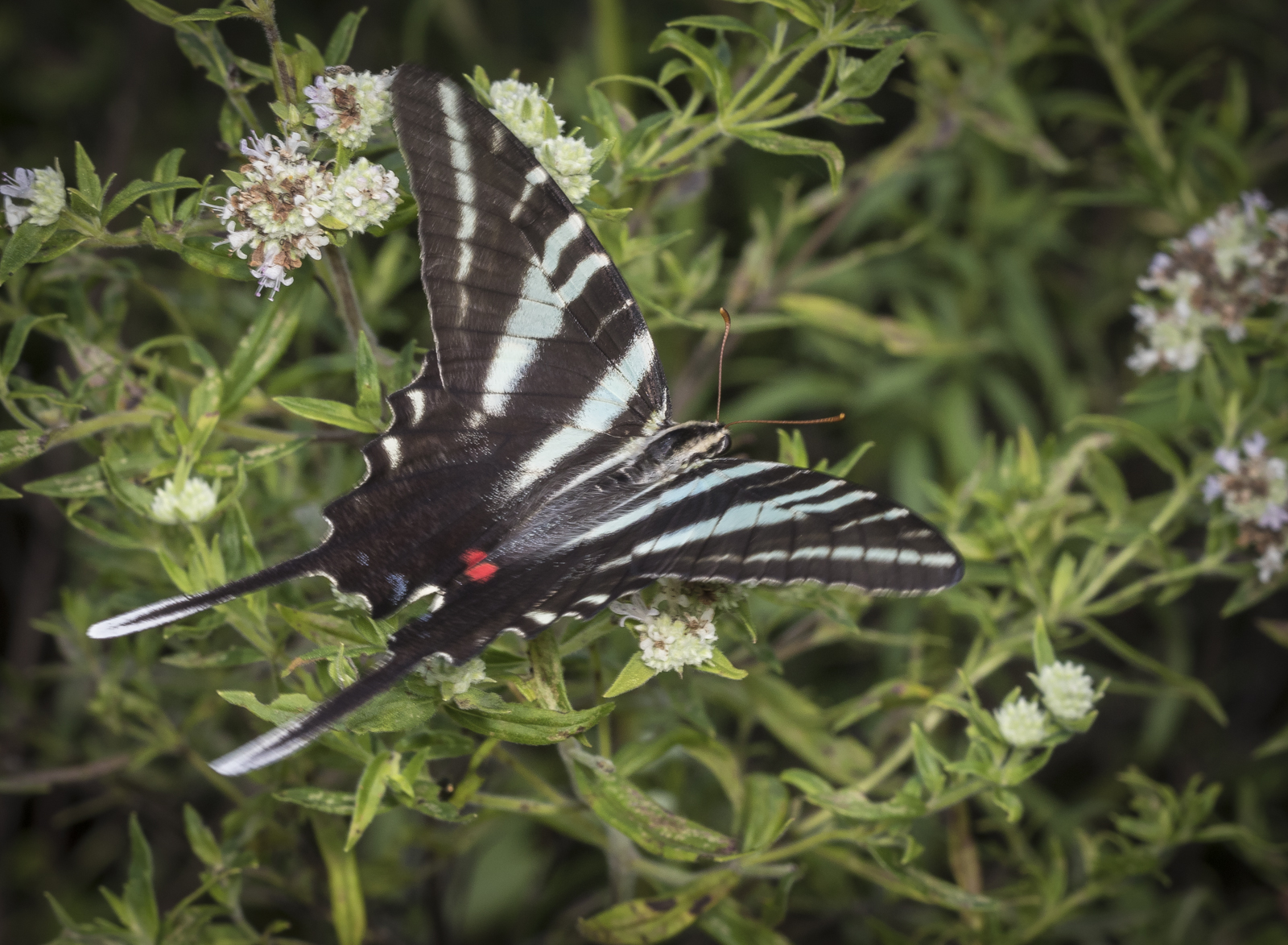 Zebra swallowtail nectaring showing blue in wing