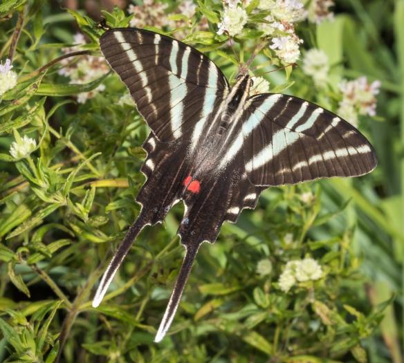 Zebra swallowtail nectaring
