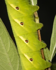 Banded sphinx larva green form close up