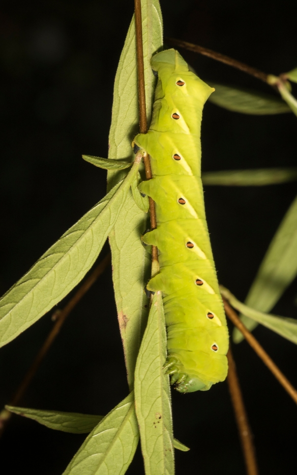 Banded sphinx larva green form