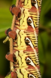Banded sphinx larva red form close up