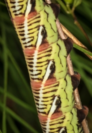 Banded sphinx larva reddish-green form close up