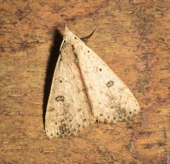 Dead wood borer moth