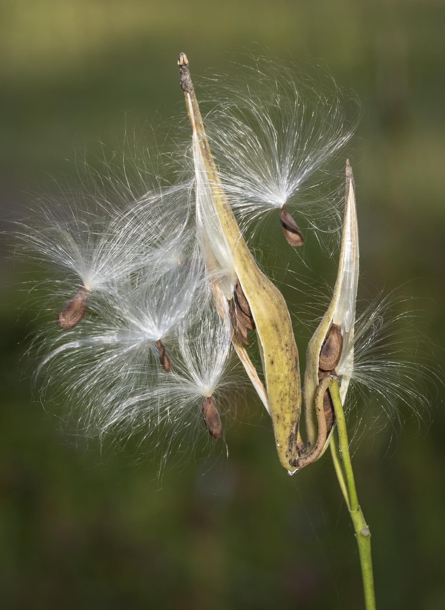 Few-flowered milkweed seed pod