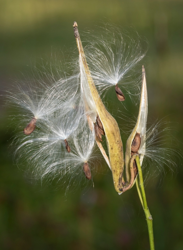 Few-flowered milkweed seed pod