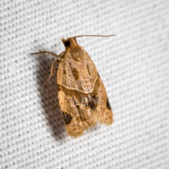 Garden Tortrix Moth, Clepsis peritana