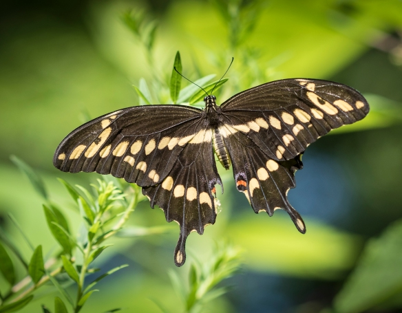 Giant swallowtail resting close up