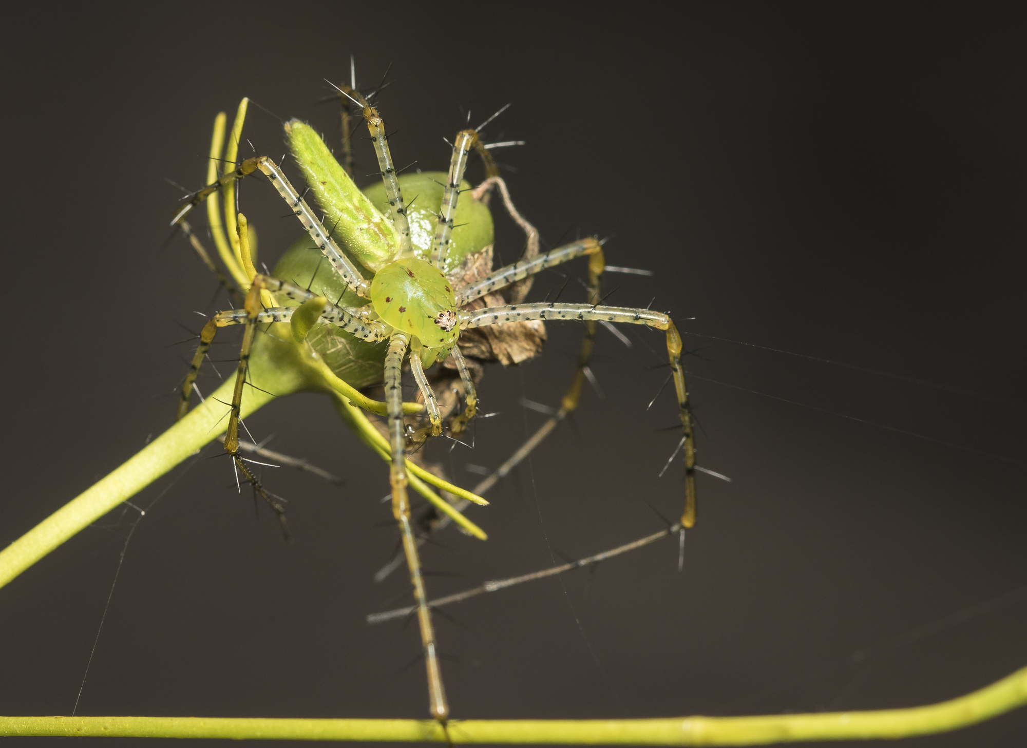 Green lynx spider malegg
