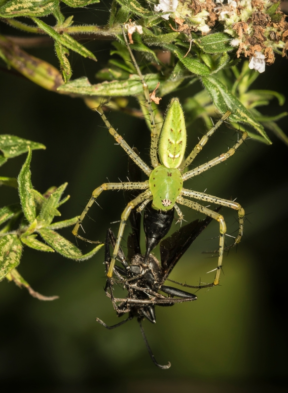 Green lynx spider with wasp prey