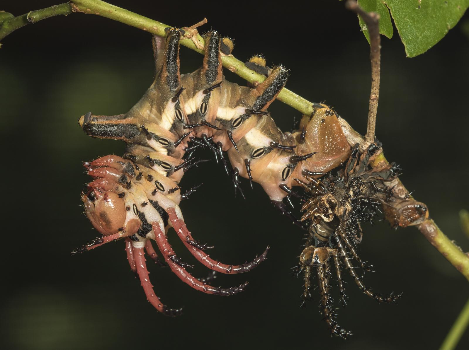 hickory horned devil after shedding its skin