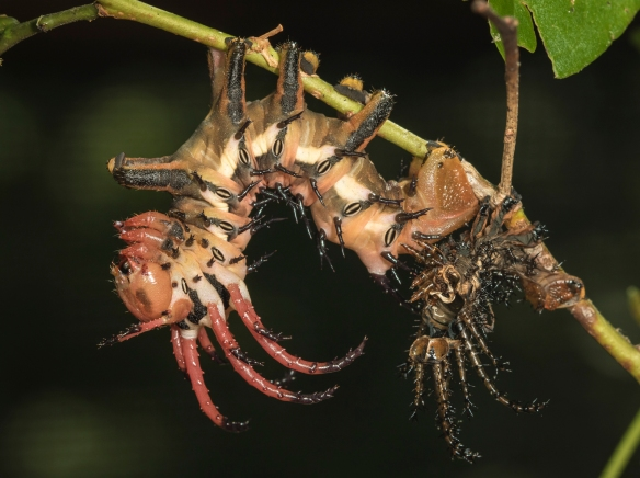 hickory horned devil after shedding its skin