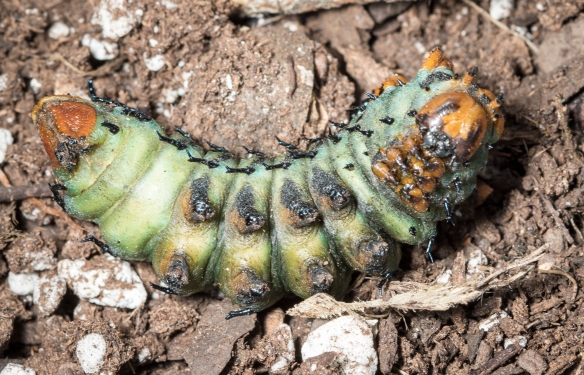 Hickory horned devil approaching pupation