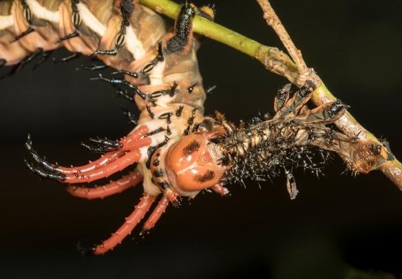 Hickory horned devil eating its shed skin