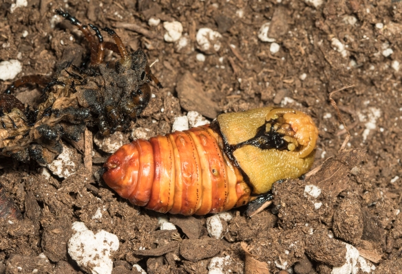 Hickory horned devil  fresh pupa