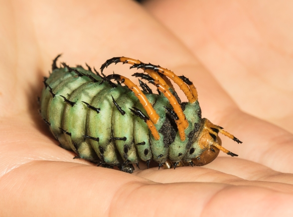 hickory horned devil shrinking for pupation