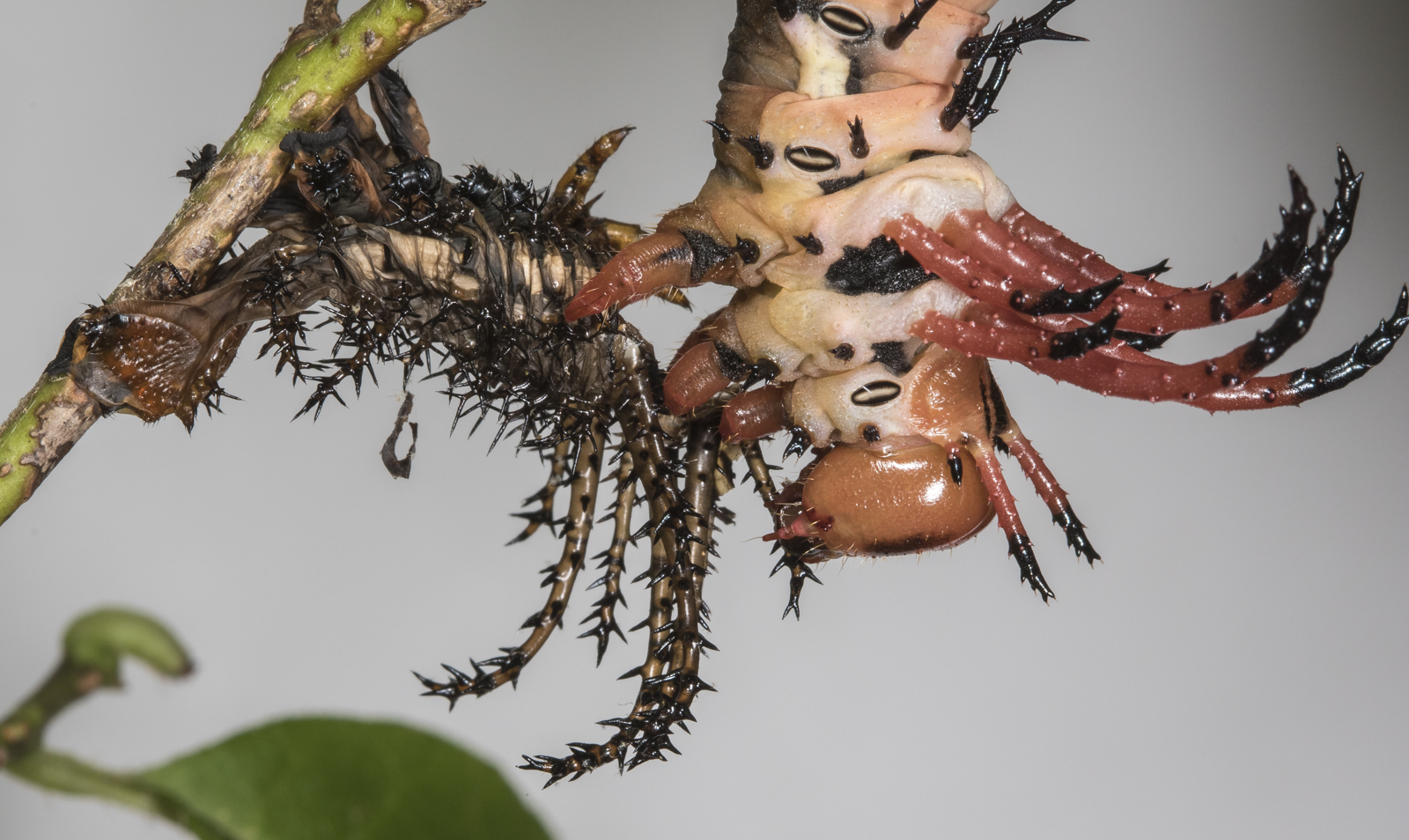 Hickory horned devil starting to eat its shed skin