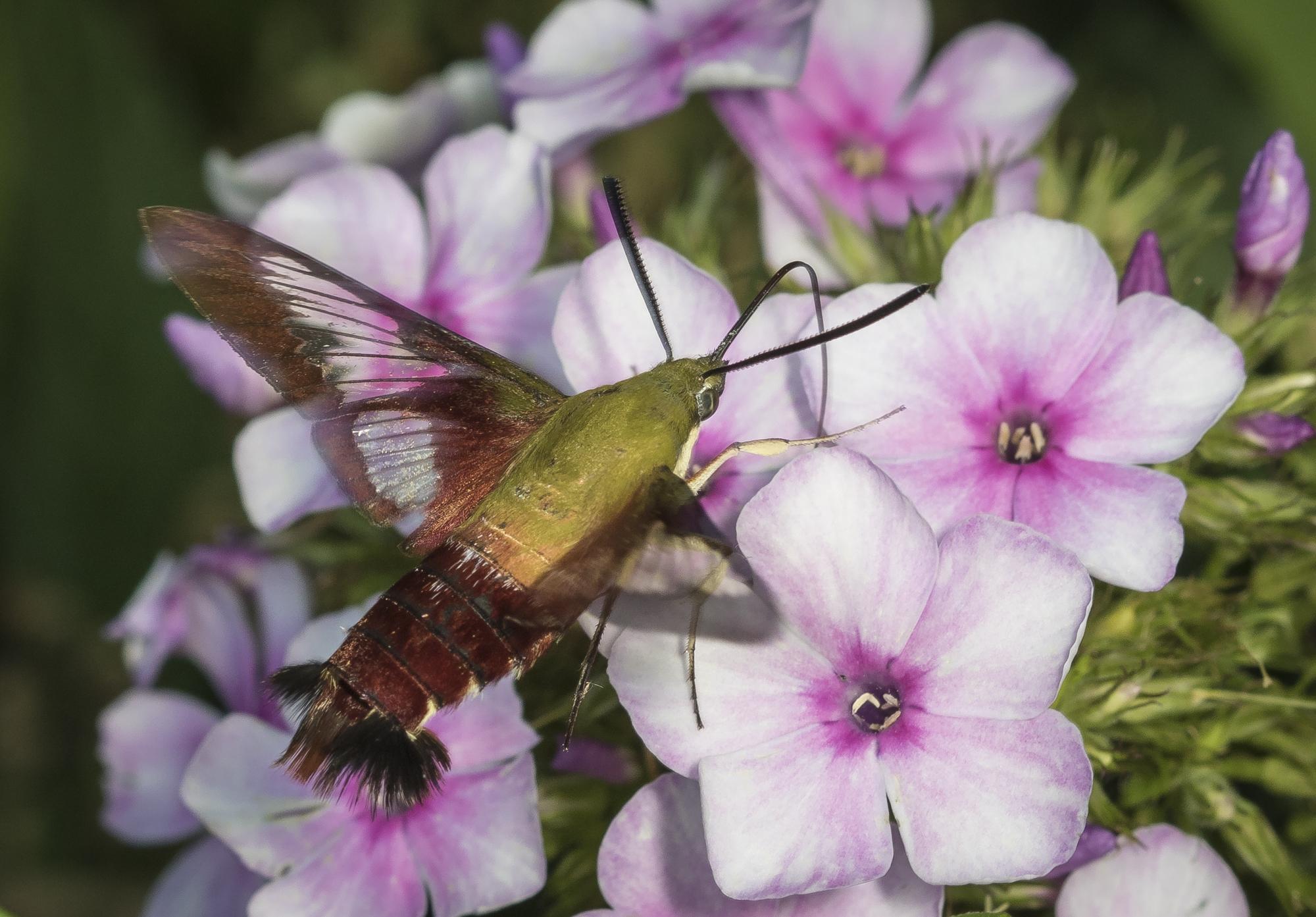 Hummingbird clearwing moth at garden phlox