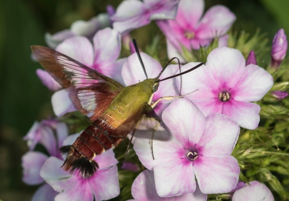 Hummingbird clearwing moth at garden phlox
