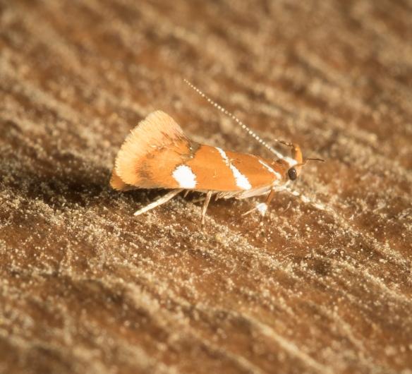 Suzuki's Promalactis Moth, Promalactis suzukiella