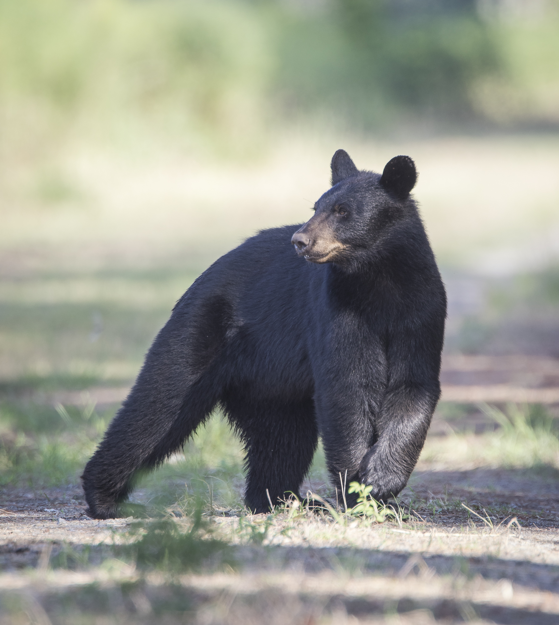 Black bear indecision