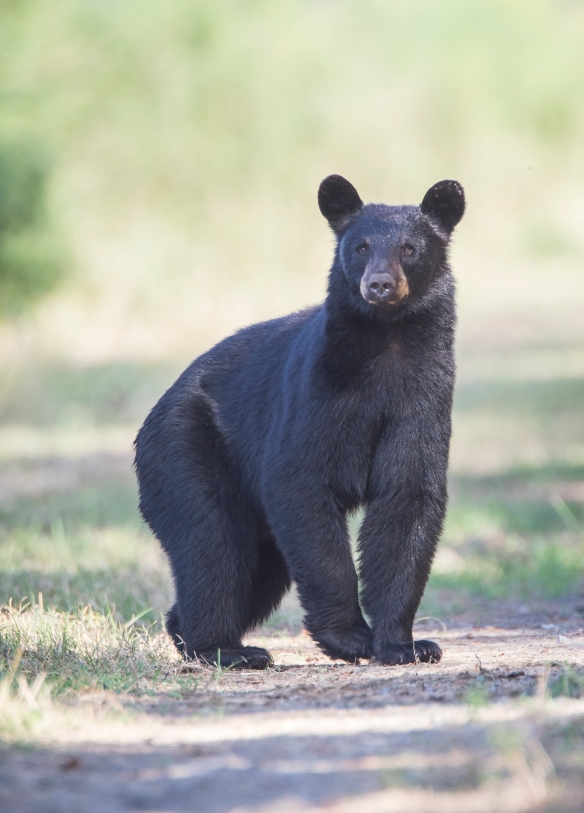 Black bear realizing something is not right