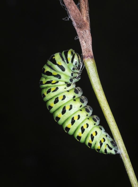 black swallowtail prepupa