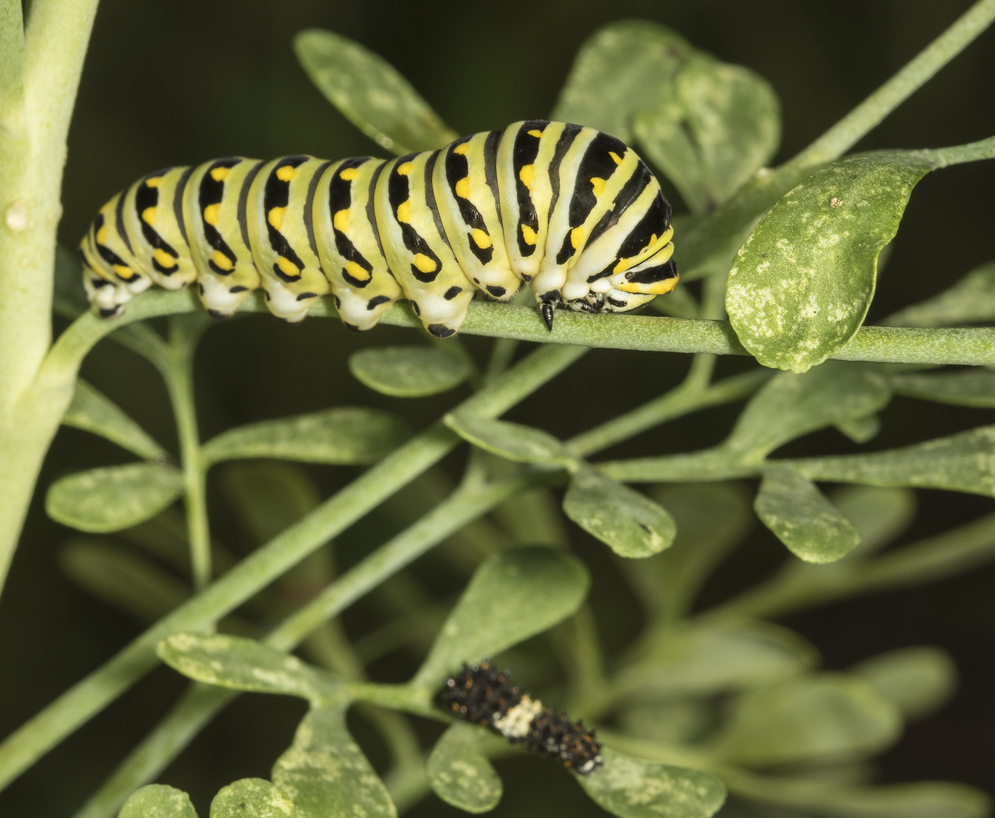 Black swalowtail larvae on rue
