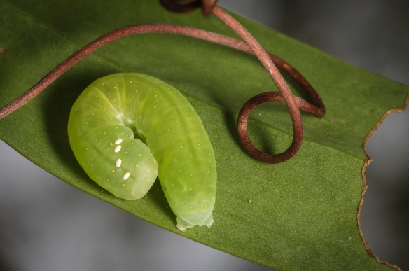 caterpillar with parasitoid eggs on dorsal surface