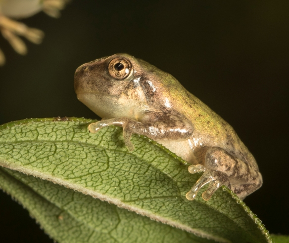 Cope's gray treefrog juvenile