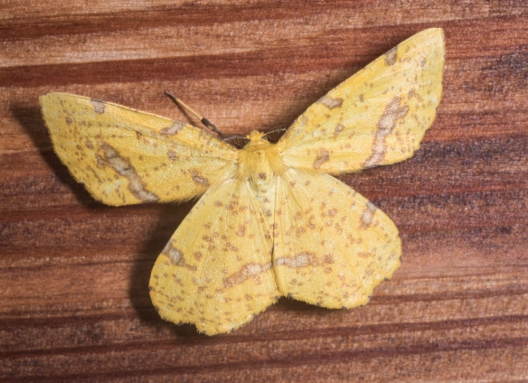Crocus geometer, Xanthotype sp. (adults cannot be separated  to