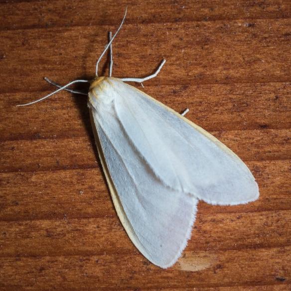 Delicate Cycnia, Cycnia tenera