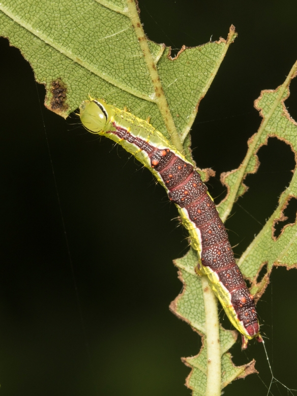 Double-lined prominent larva dorsal view