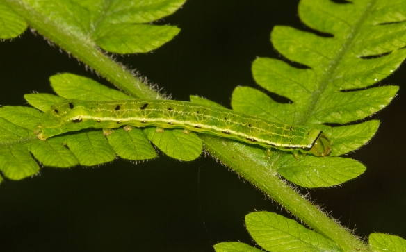 Florida fernth larva mo