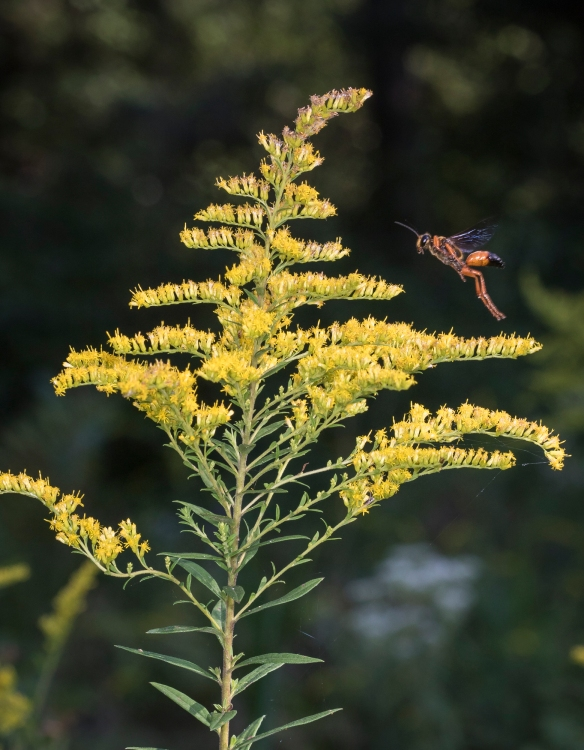 Goldenrod and wasp