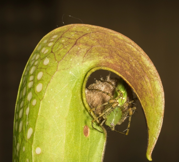 green lynx pider under hooded pitcher plant