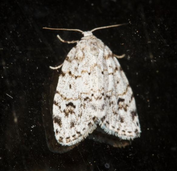 Little white lichen moth, Clemensia albata