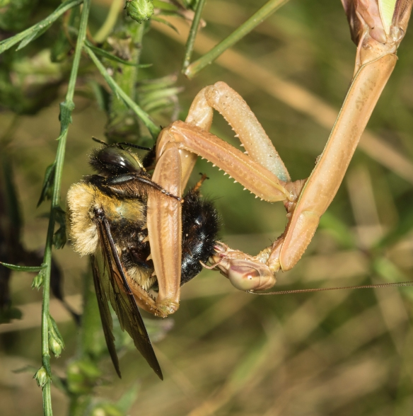 Mantis with bee