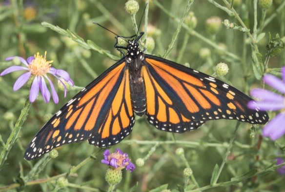 Monarch butterfly at NCBG