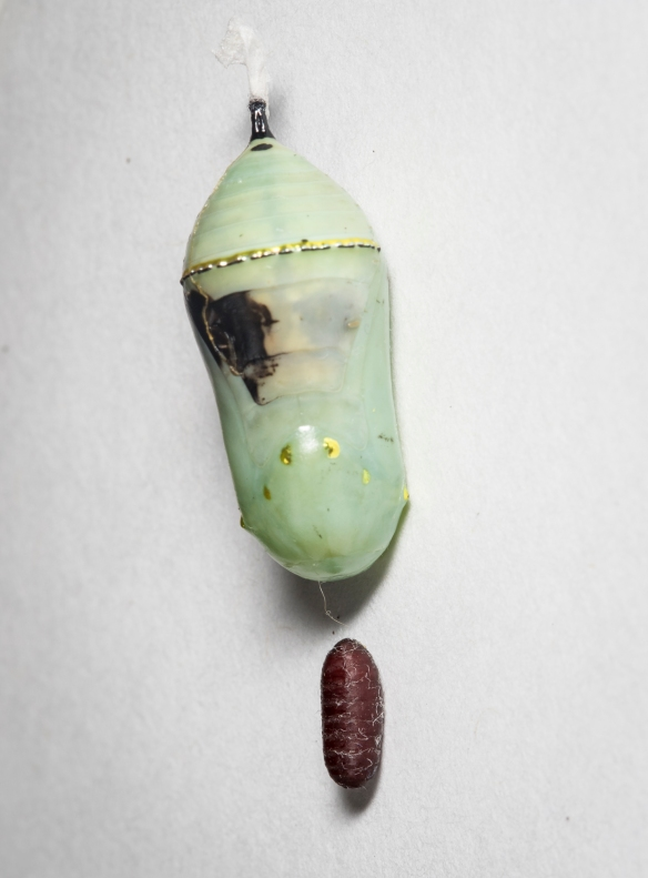 monarch chrysalis with tachind fly pupa
