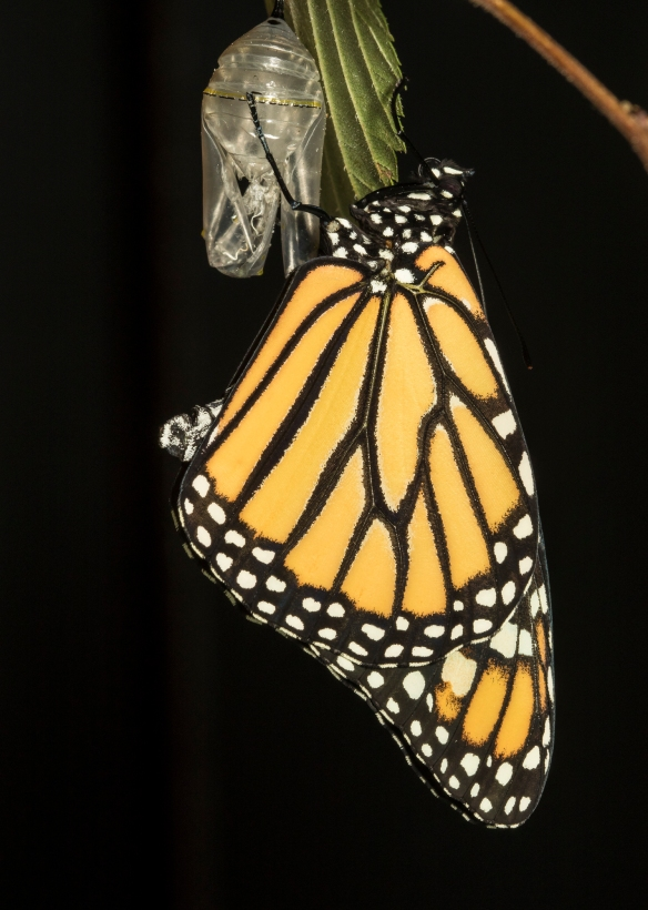 Monarch hanging on chrysalis