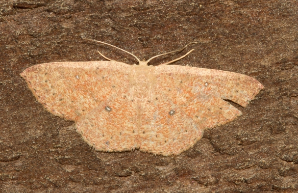 Packard's wave, Cyclophora packardi