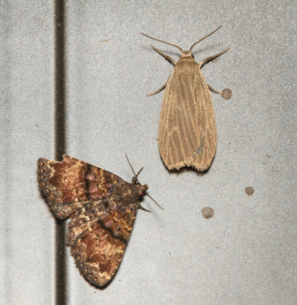 Richard's Fungus Moth (lower left), Metalectra richardsi