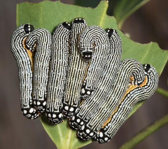 Turbulent phosphila larvae
