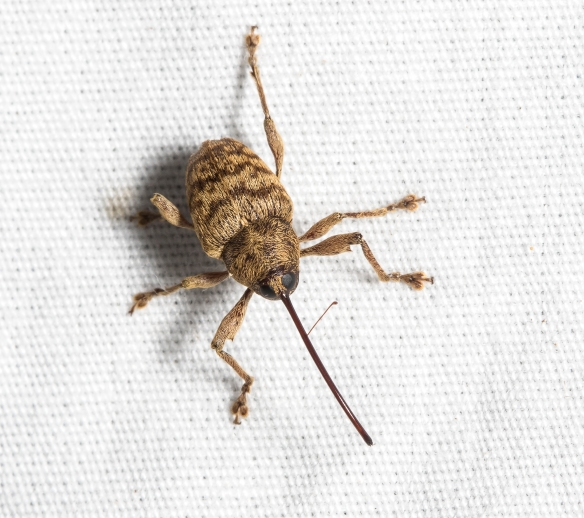weevil at moth light